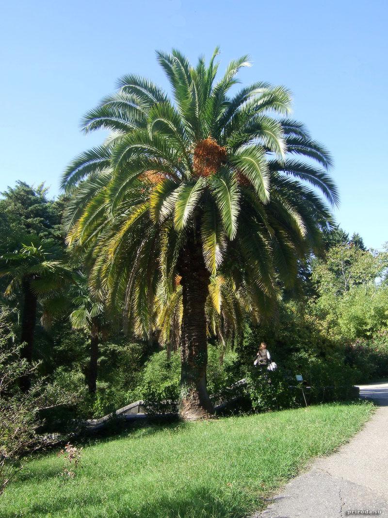 Канарская финиковая пальма