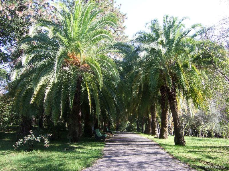 Аллея из Канарских финиковых пальм