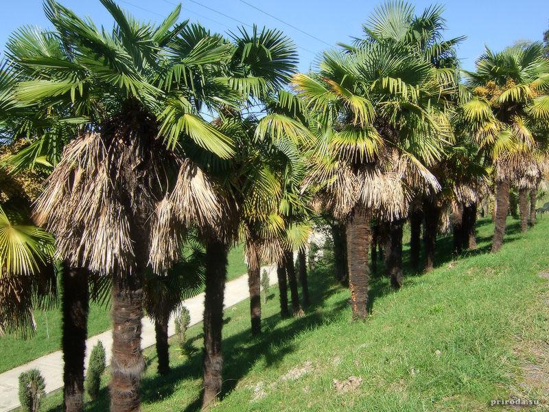 Китайские веерные пальмы