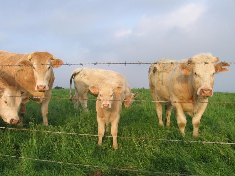 Генетически модифицированные коровы, дающие человеческое молоко