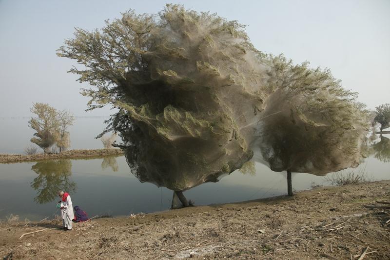Пакистан. Паукоообразные спасающиеся на деревьях от наводнения