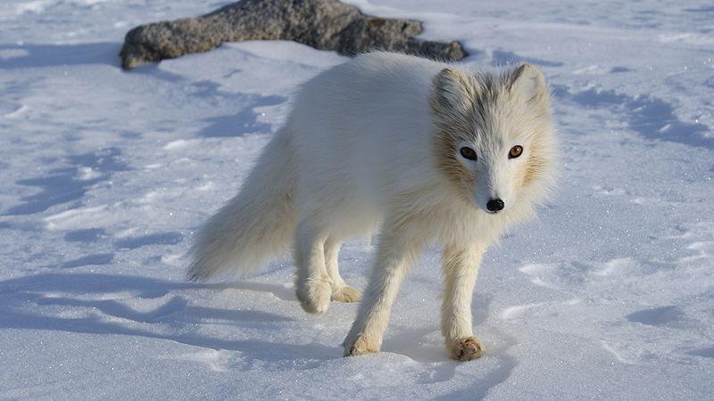 Полярная лисица (Песец)