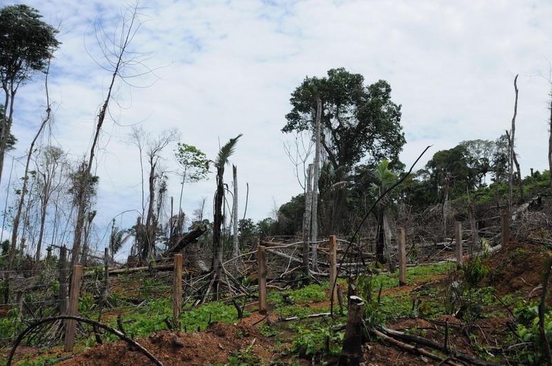 Объёмы вырубки лесов Амазонии увеличились вдвое за последний год