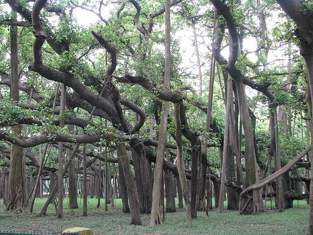 Баньян: дерево - рекордсмен