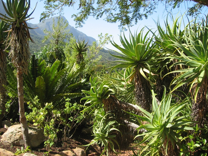 Суккуленты ботанического сада Кирстенбош