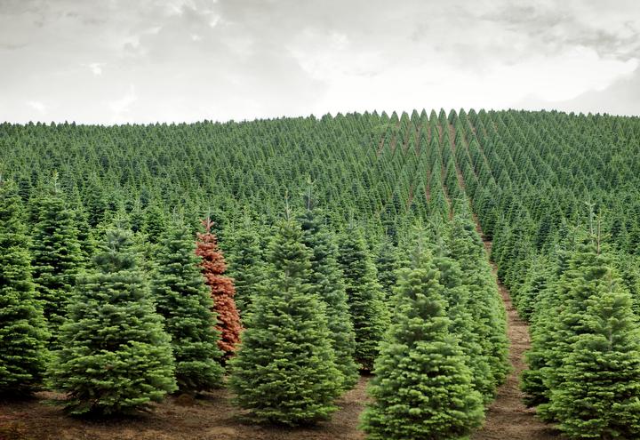 Ферма для выращивания рождественских ёлок
