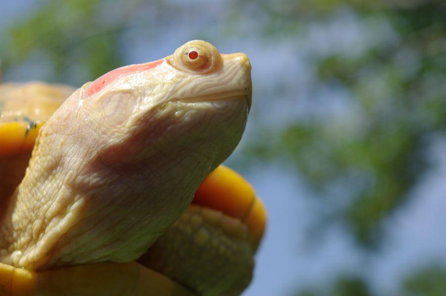 Черепаха альбинос