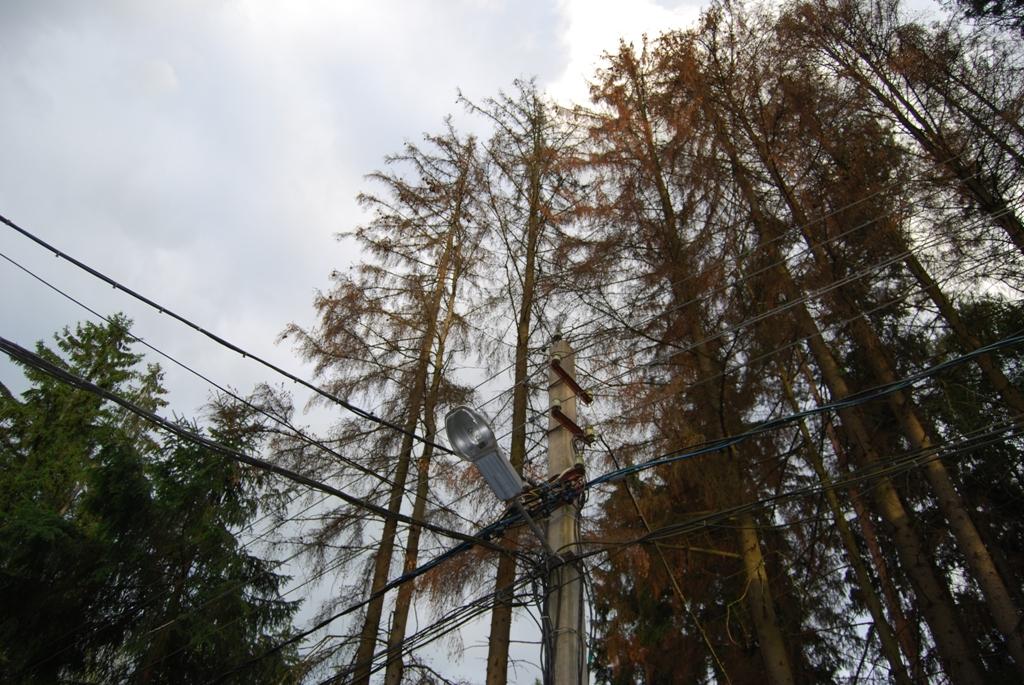Причина гибели ельников – жук короед