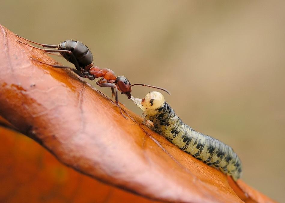 Беззащитная жертва муравья