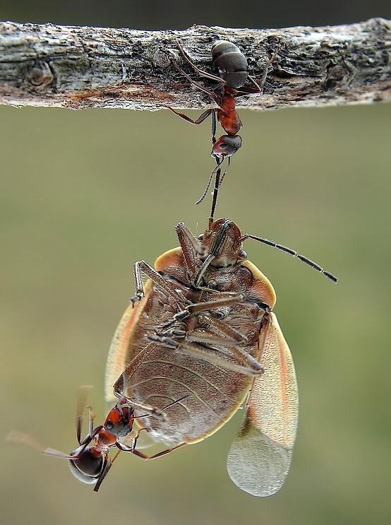 Феноменальные физические способности муравья