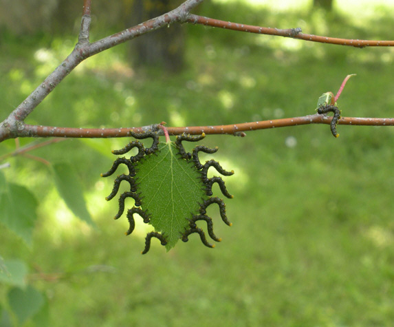гусеницы на листе