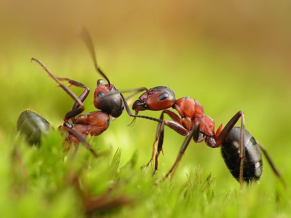 Бой муравья с чужаком