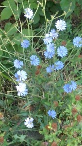 Thistle and chicory