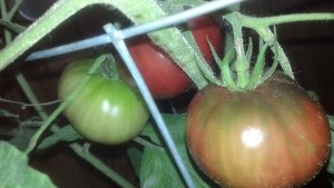 3 indoor tomatoes