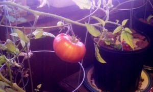1 indoor tomato