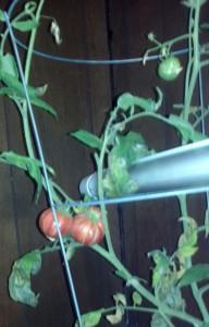 northern lights tomato i think