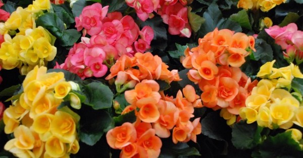 begonia_yellow_pink_orange_plant_flower