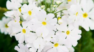 Fairy primrose