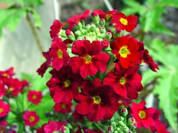Fairy primrose red