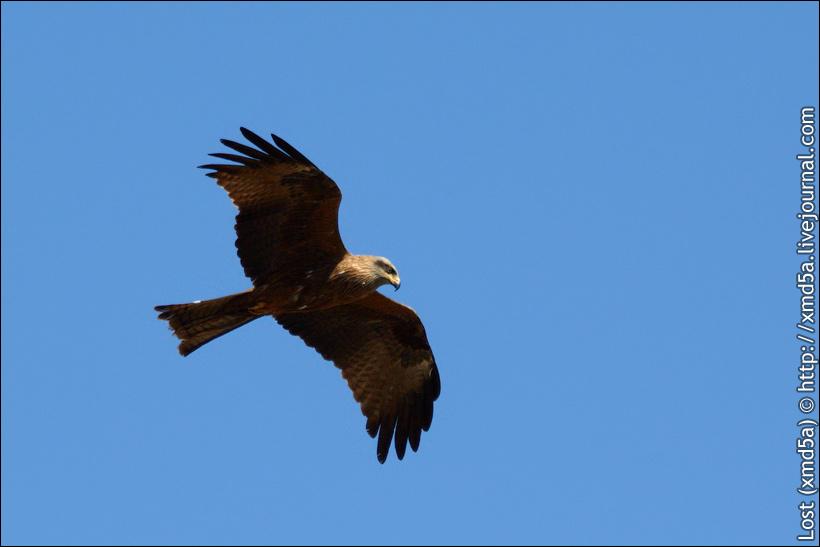 Хищные птицы саратовской области