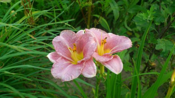 рожевий2