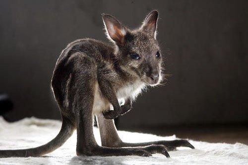 """Из версий знаечения слова """"кенгуру"""