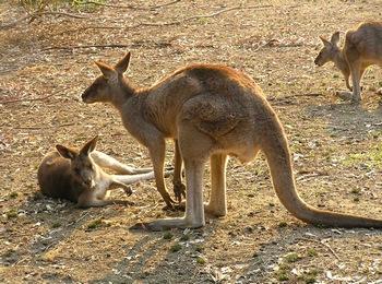 Низинах где кенгуру любят кормиться