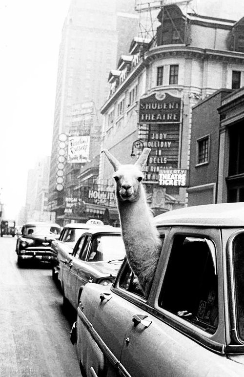 A Llama in Times Square by Inge Morath, 1957