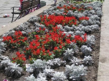 С чем сочетается сальвия цветов