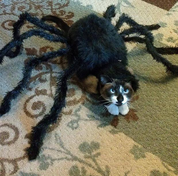 17-spider-cat