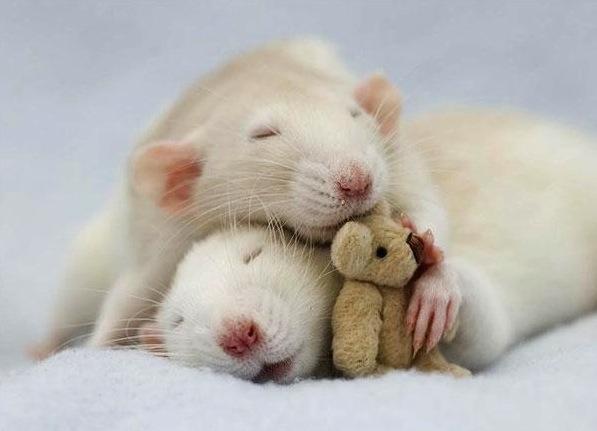 Cute rats 1