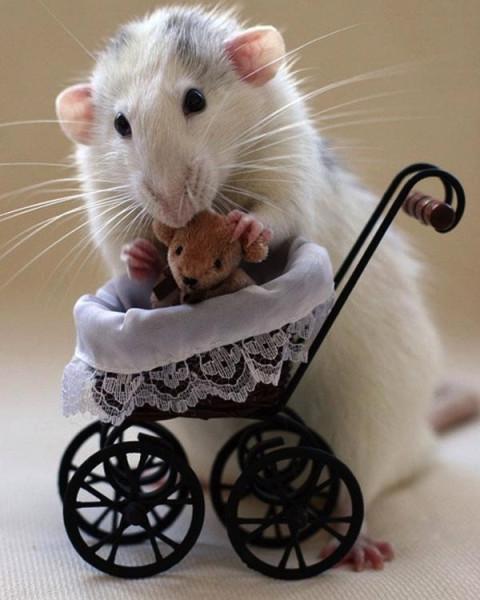 Cute rats 2