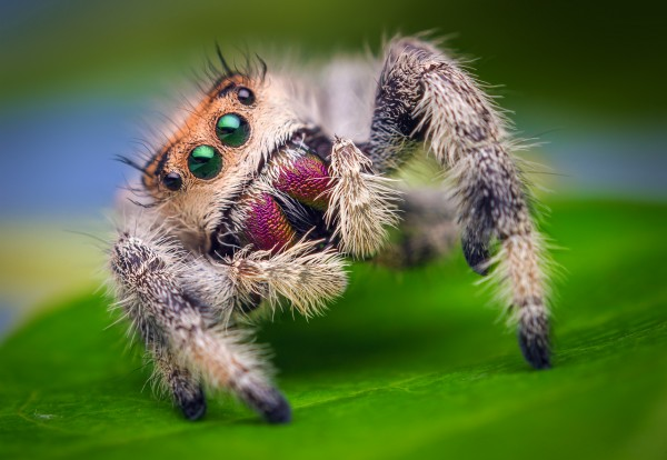 Female_Jumping_Spider