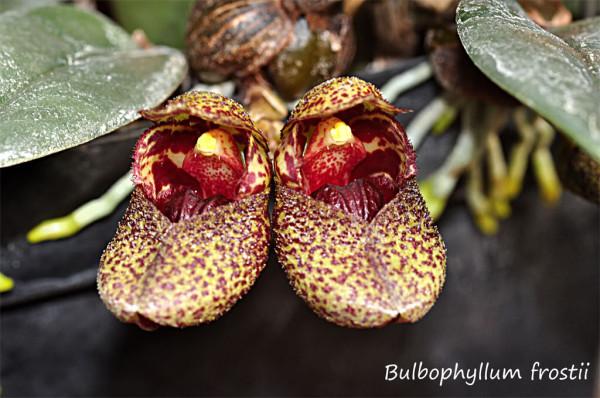 Bulbophyllum frostii
