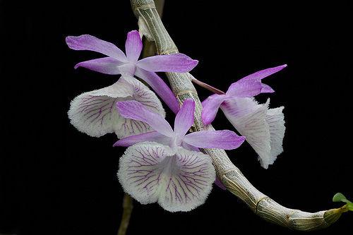 Dendrobium primulimum