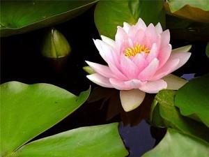 Русалочный цветок