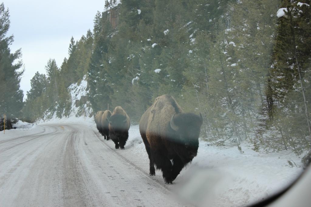 бизоны идут