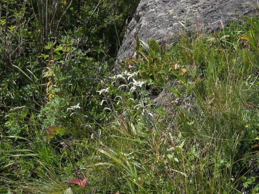 камчатский эдельвейс2