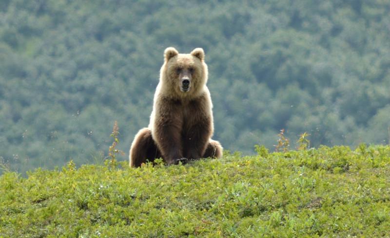 медведь_камчатка