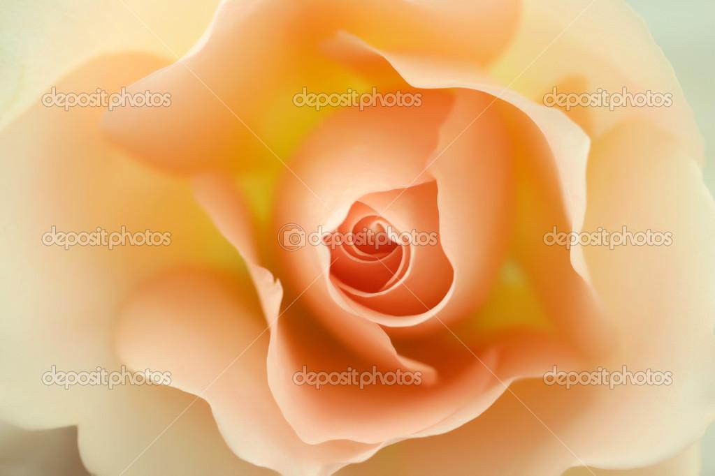 depositphotos_1768517-Beautiful-beige-rose