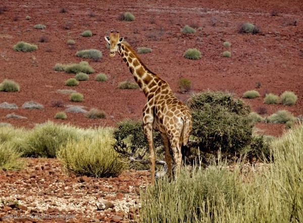 В Гондвану! По Намибии. Коаколенд. Искали пустынного слона - нашли кучу жирафов, тоже пустынных.