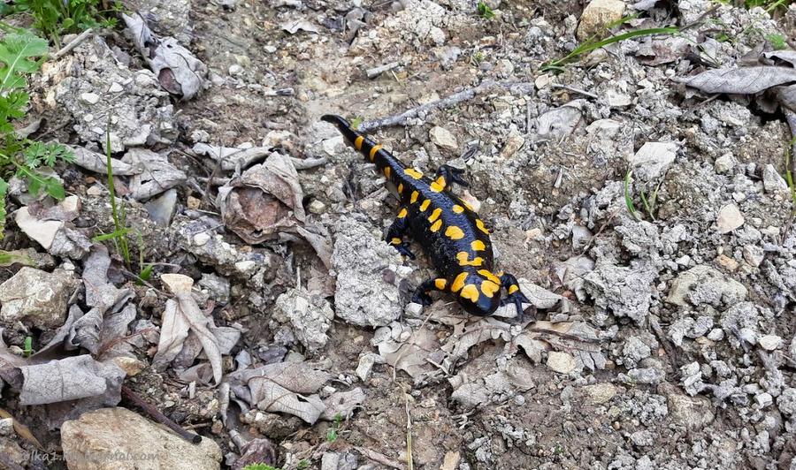 Незнакомый Израиль. Встреча с огненной саламандрой в лесу Бирия 20210213_102633_2-001.jpg