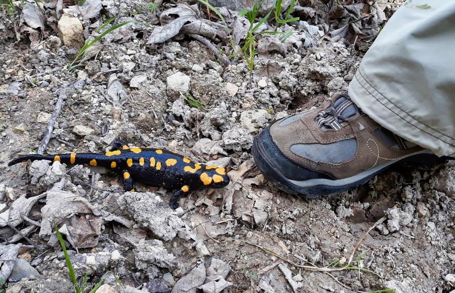 Незнакомый Израиль. Встреча с огненной саламандрой в лесу Бирия 20210213_102647_2-001.jpg