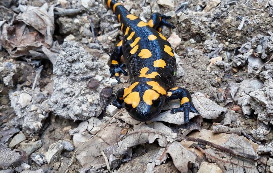 Незнакомый Израиль. Встреча с огненной саламандрой в лесу Бирия 20210213_102812_2-001.jpg