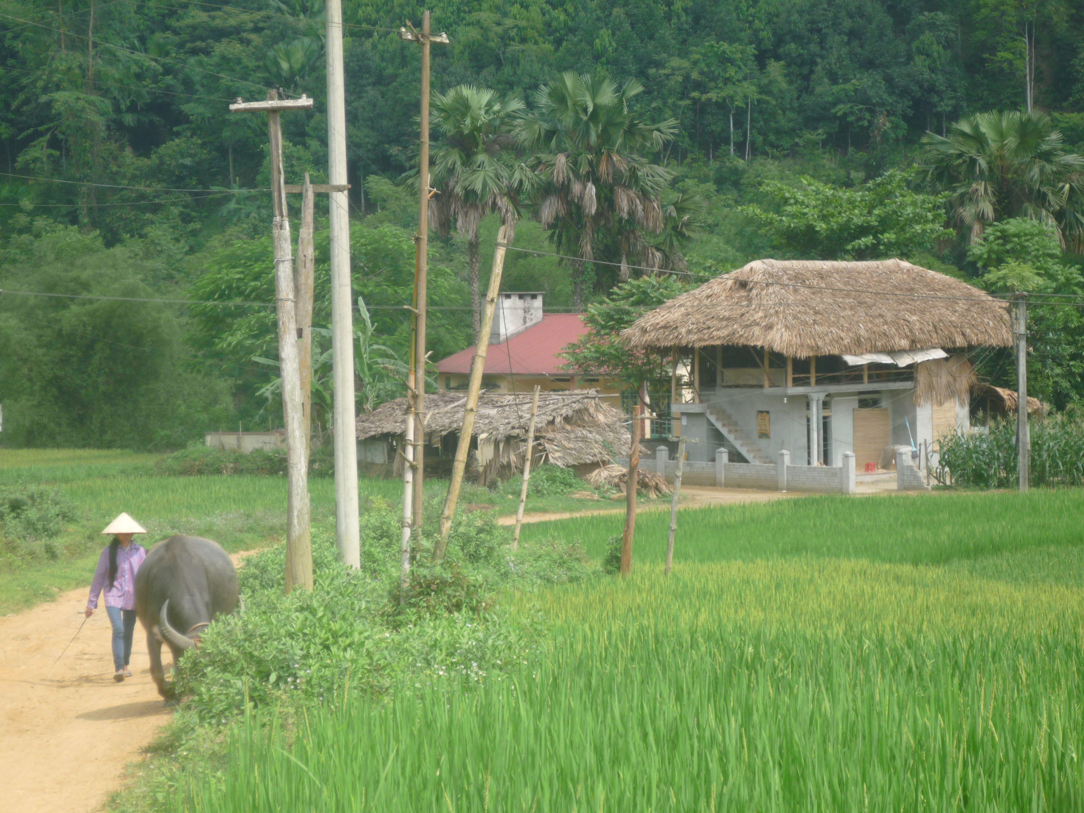 Вьетнамка и буйвол