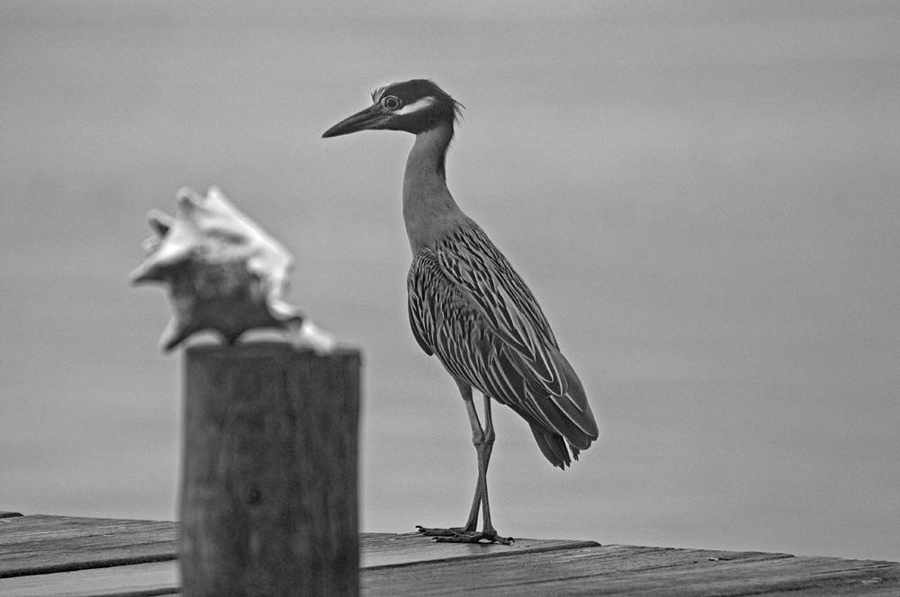 night heron bandw 1000px