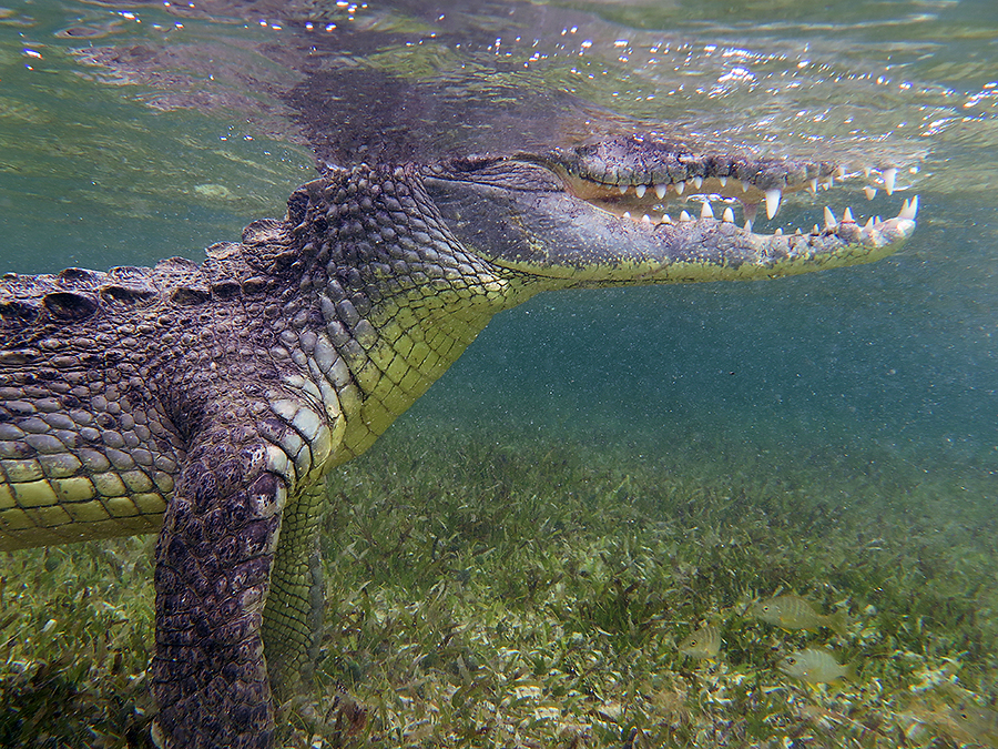 900px standing croc
