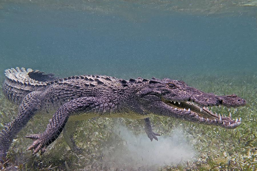 croc900px open mouth