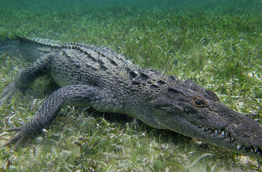 good croc 900px