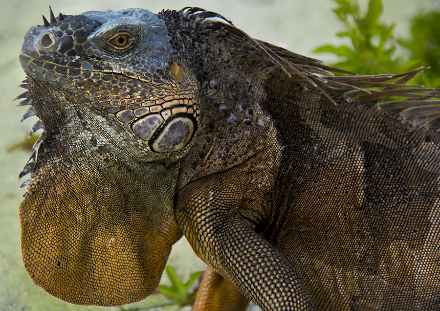 iguana head